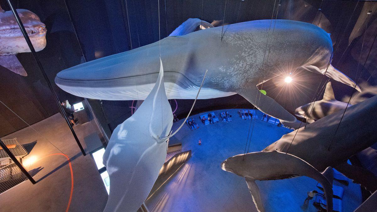 Blick auf die Nachbildung eines Blauwals im Ozeaneum Stralsund.