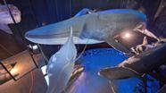 Blick auf die Nachbildung eines Blauwals im Ozeaneum Stralsund. | Bild:picture-alliance/Stefan Sauer/dpa