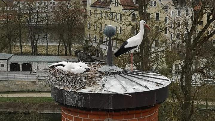 Der tote Storch in seinem Horst in Regensburg-Stadtamhof