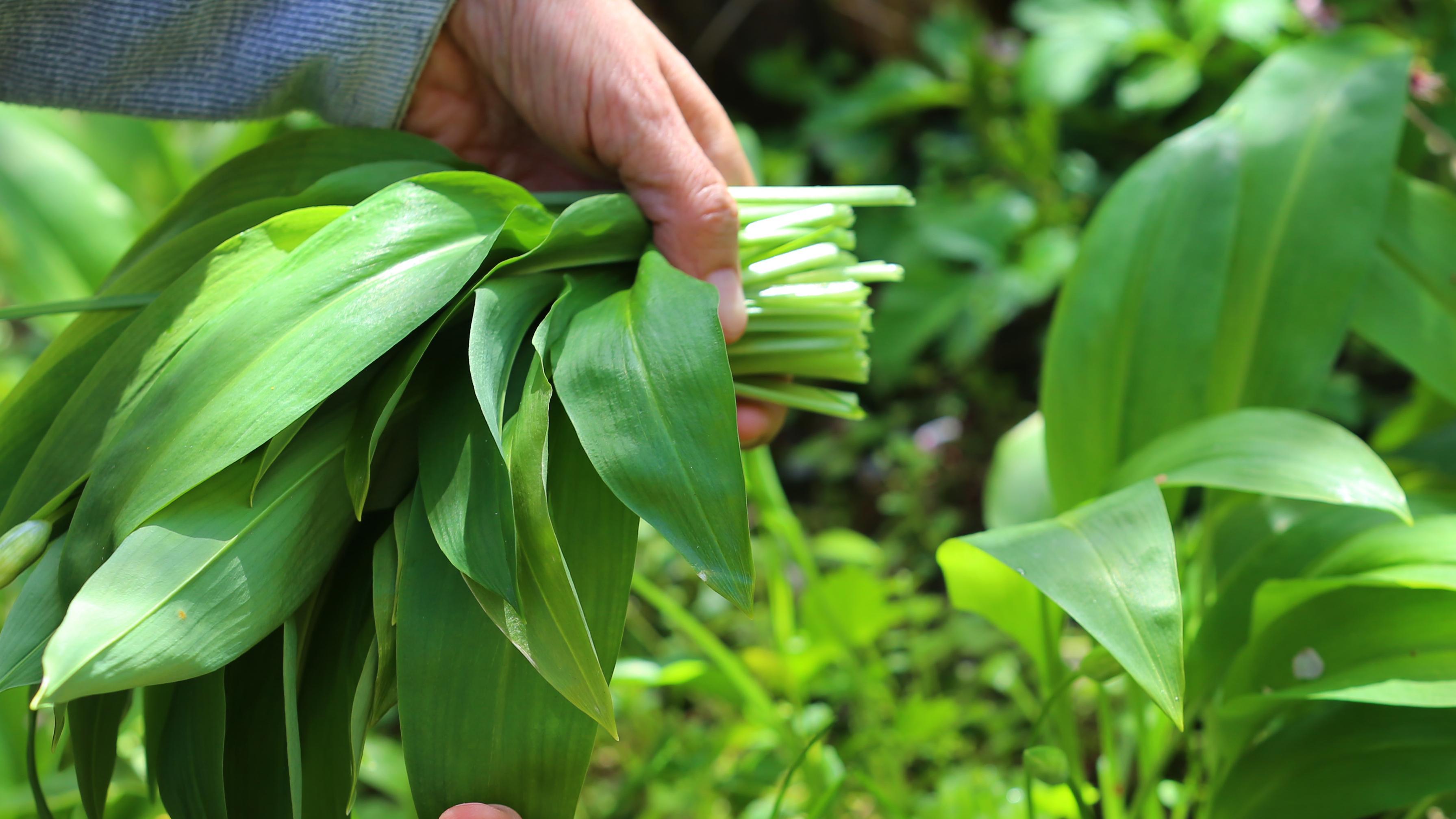Blätter des Bärlauchs