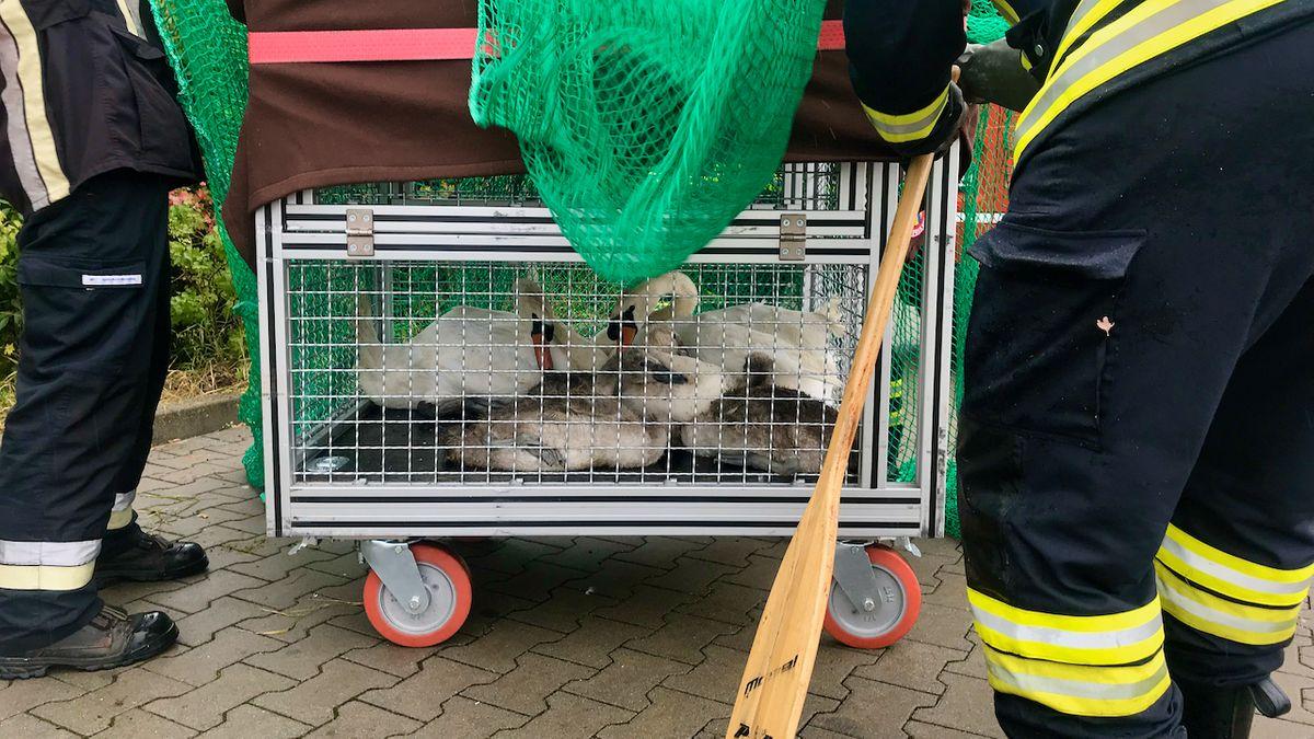 Volkacher Feuerwehr rettet Schwanenfamilie
