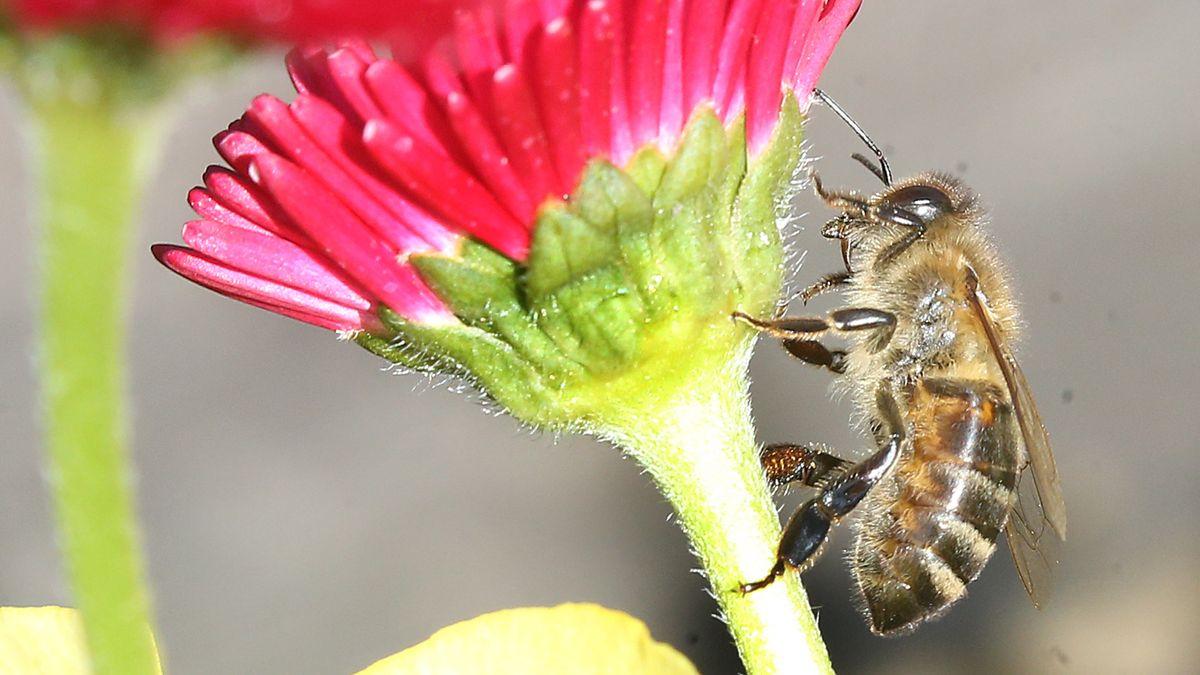 Biene an einer Blume (Symbolbild)