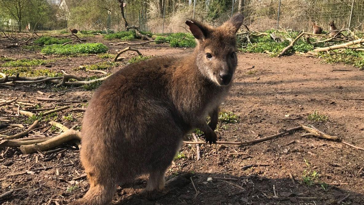 Ein Wallaby-Känguru hockt im Garten auf der Erde.