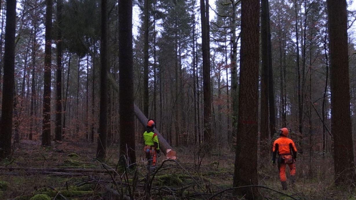 Zwei Fortarbeiter sehen zu, wie der Baum umfällt, den sie gefällt haben