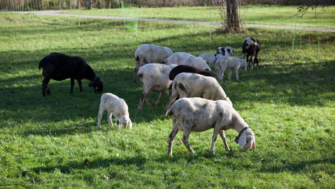 Schafe weiden auf einer Wiese