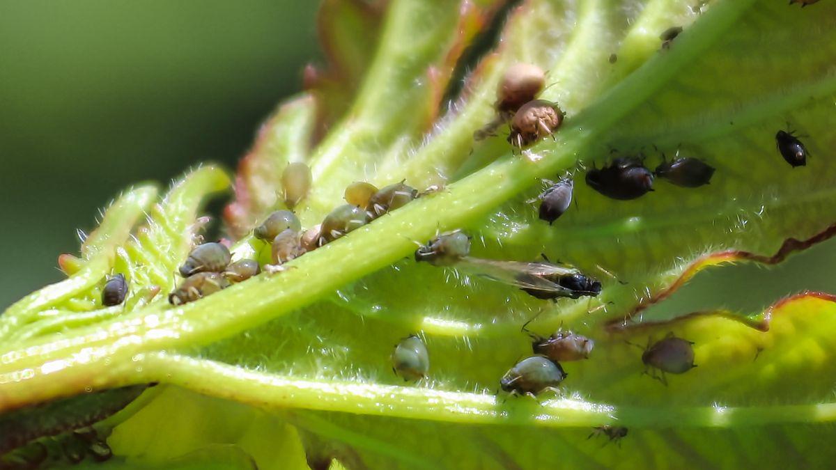 Bräunliche und schwarze Blattläuse auf einem Blatt