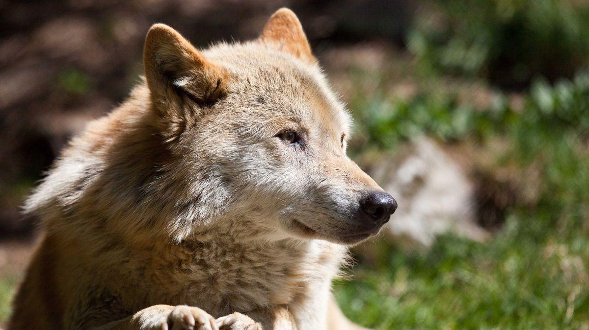 Wolf bei der Ausschau