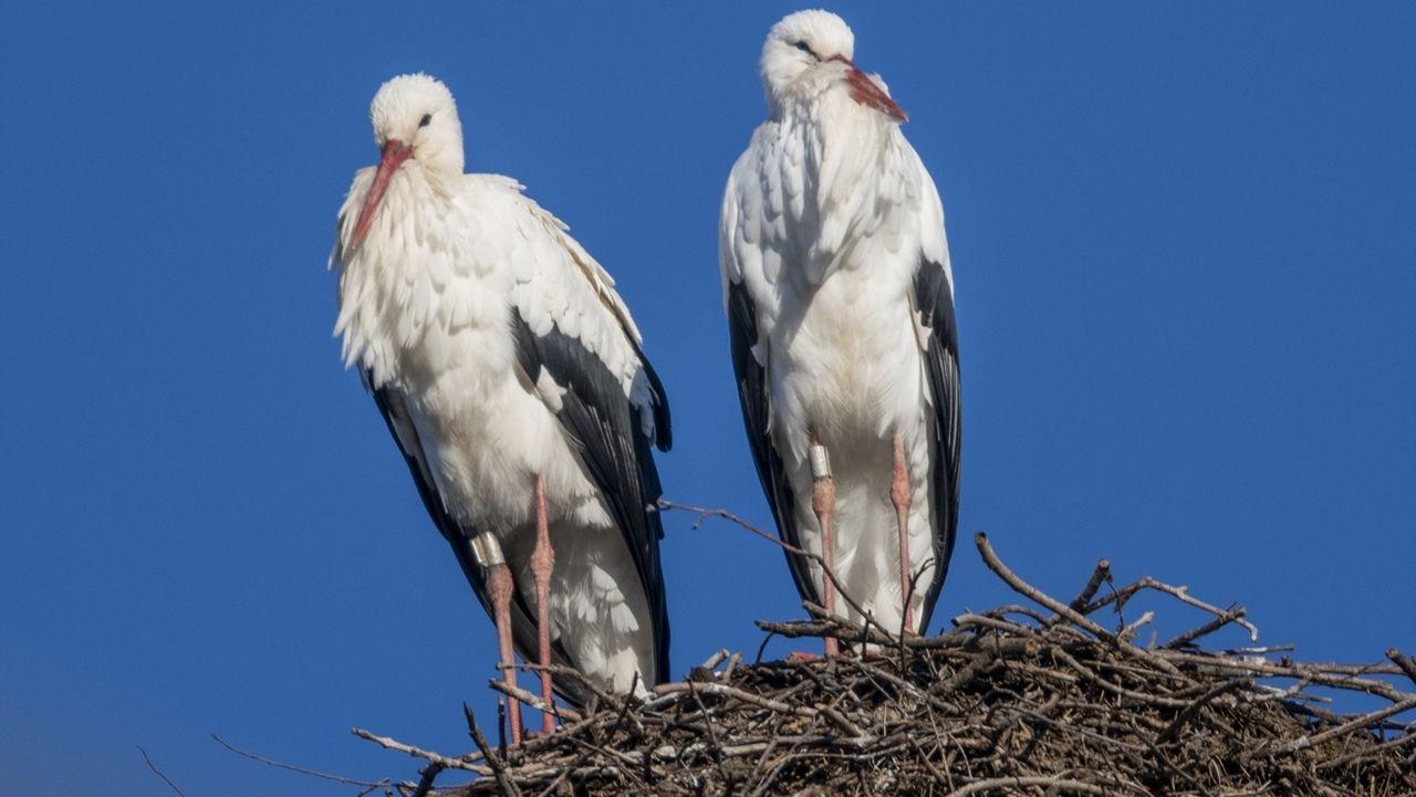 Störche sitzen Anfang Februar in ihrem Nest auf einem Strommast in Baden-Württemberg.