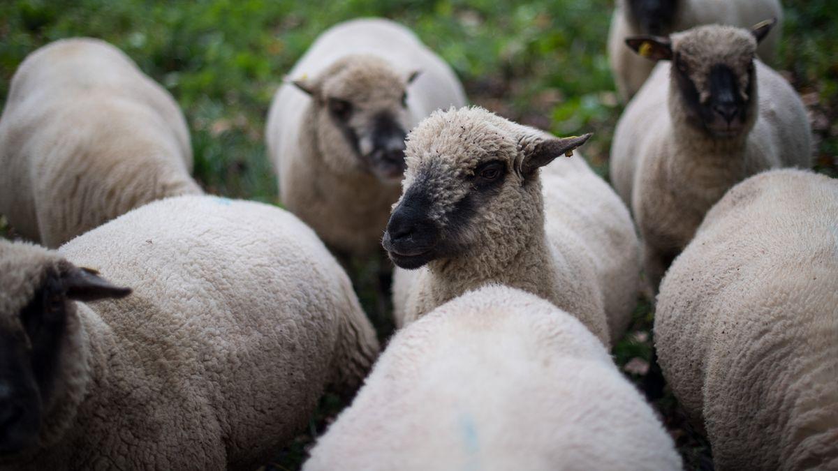 Es gibt immer mehr Wölfe in Bayern. Für Schäfer eine zunehmend schwierige Situation. Shropshire-Schafe auf einer Wiese. (Symbolbild)