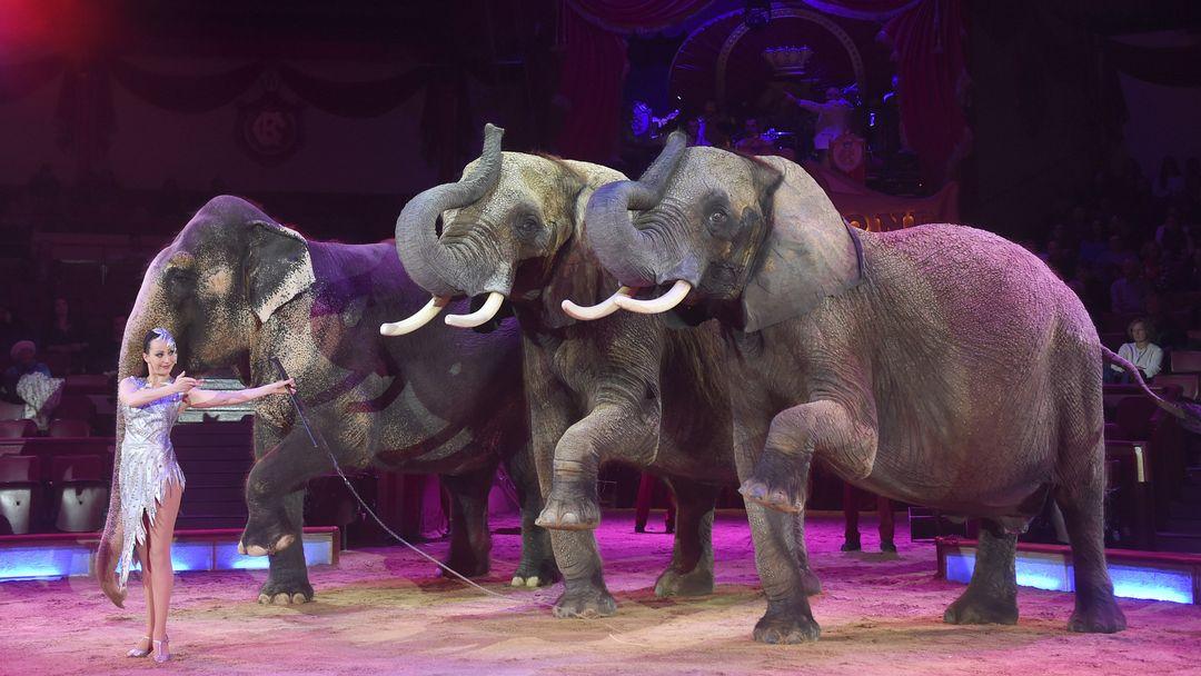 Auf Anweisung einer Frau im Showkleid heben drei Elefanten ihre linken Vorderfüße.