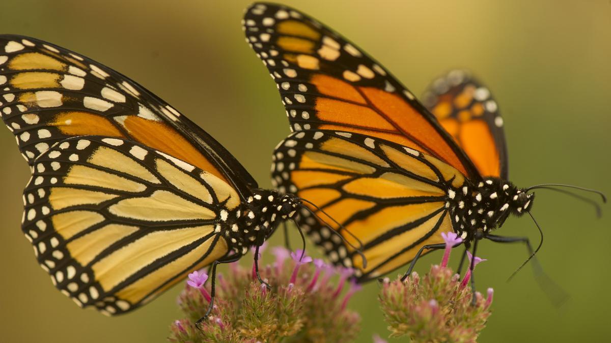 Zwei Monarchfalter mit orange schwarzer Zeichnung