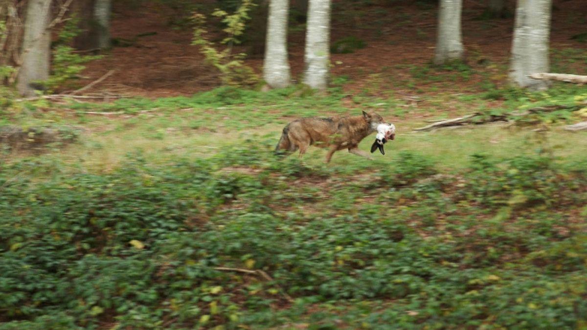 Wolf mit Beute im Maul