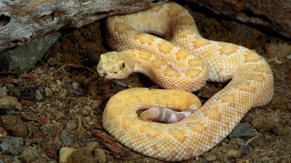 Die Texas-Klapperschlange ist eine der größten Klapperschlangenarten und sehr giftig.