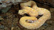 Die Texas-Klapperschlange ist eine der größten Klapperschlangenarten und sehr giftig.   Bild:picture-alliance / OKAPIA KG, Germany