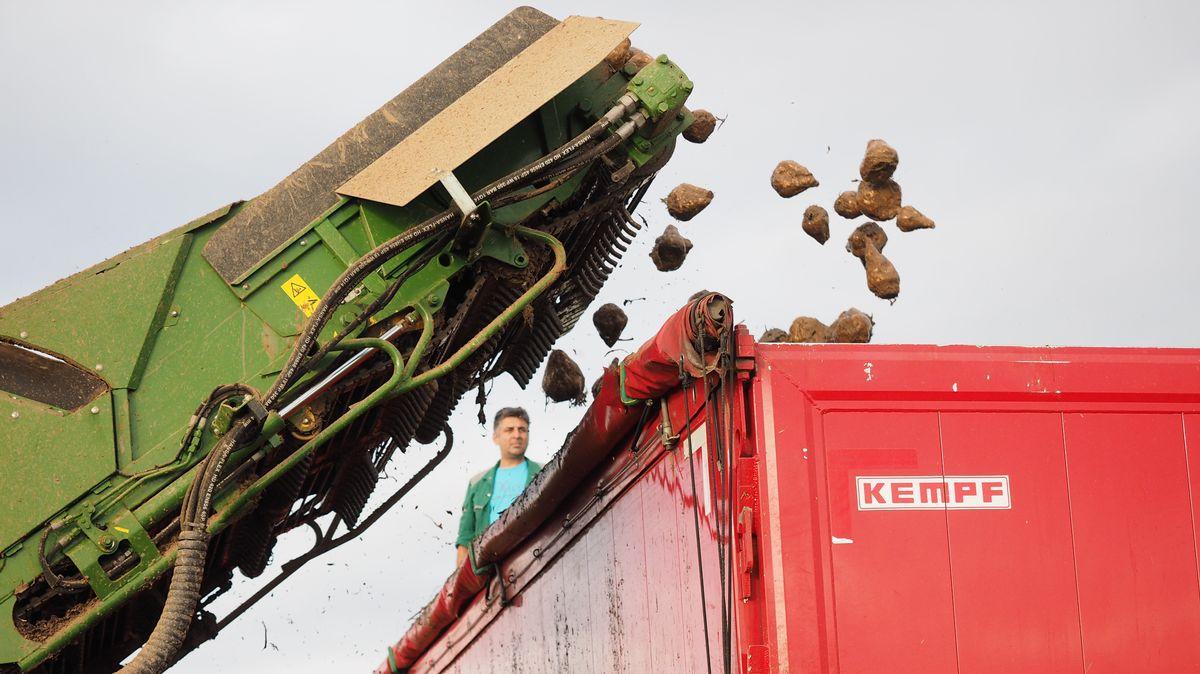 Zuckerrüben werden von einem Förderband in einen Lkw geladen
