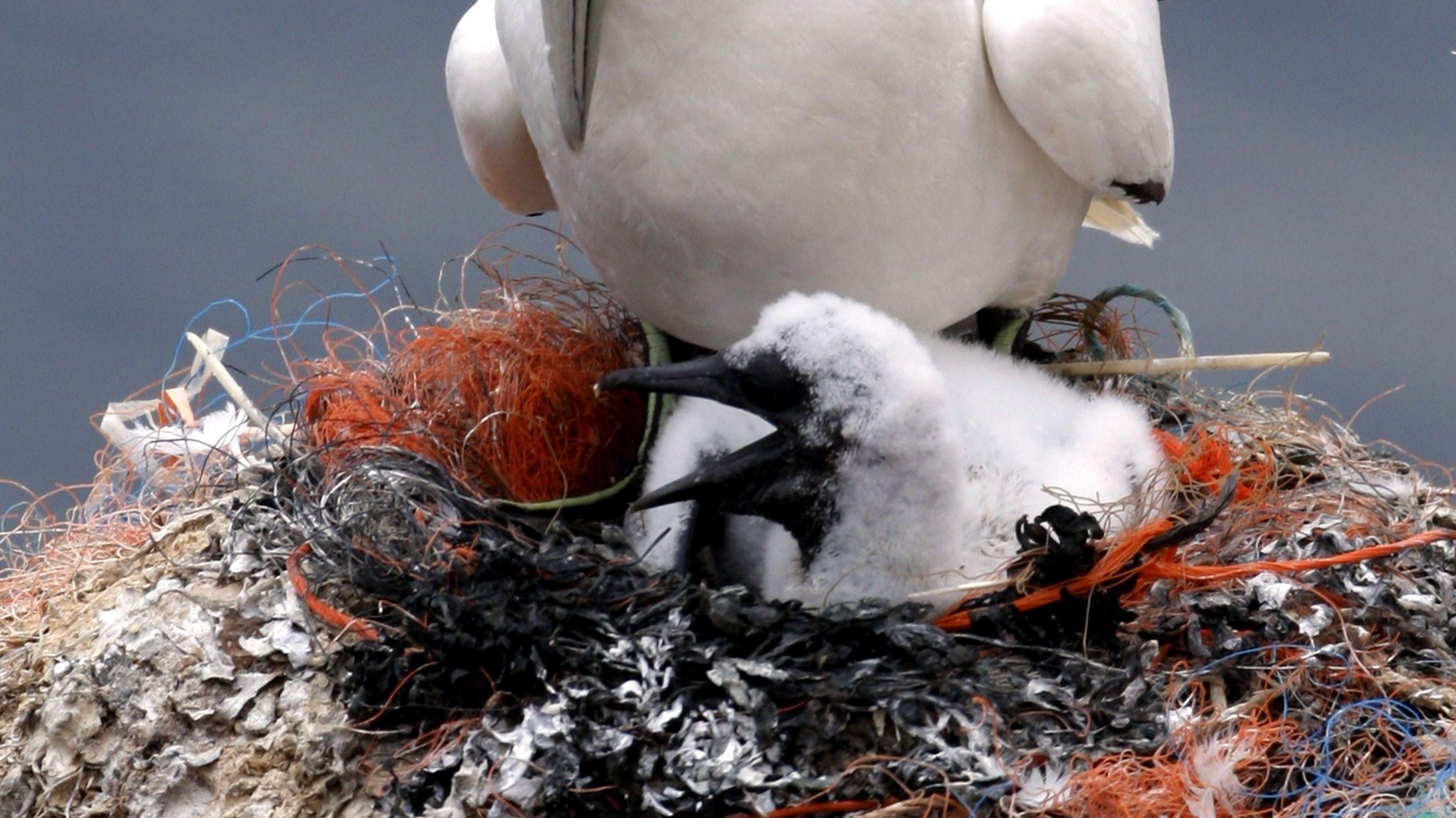 Basstölpelküken in einem Nest voller Plastik
