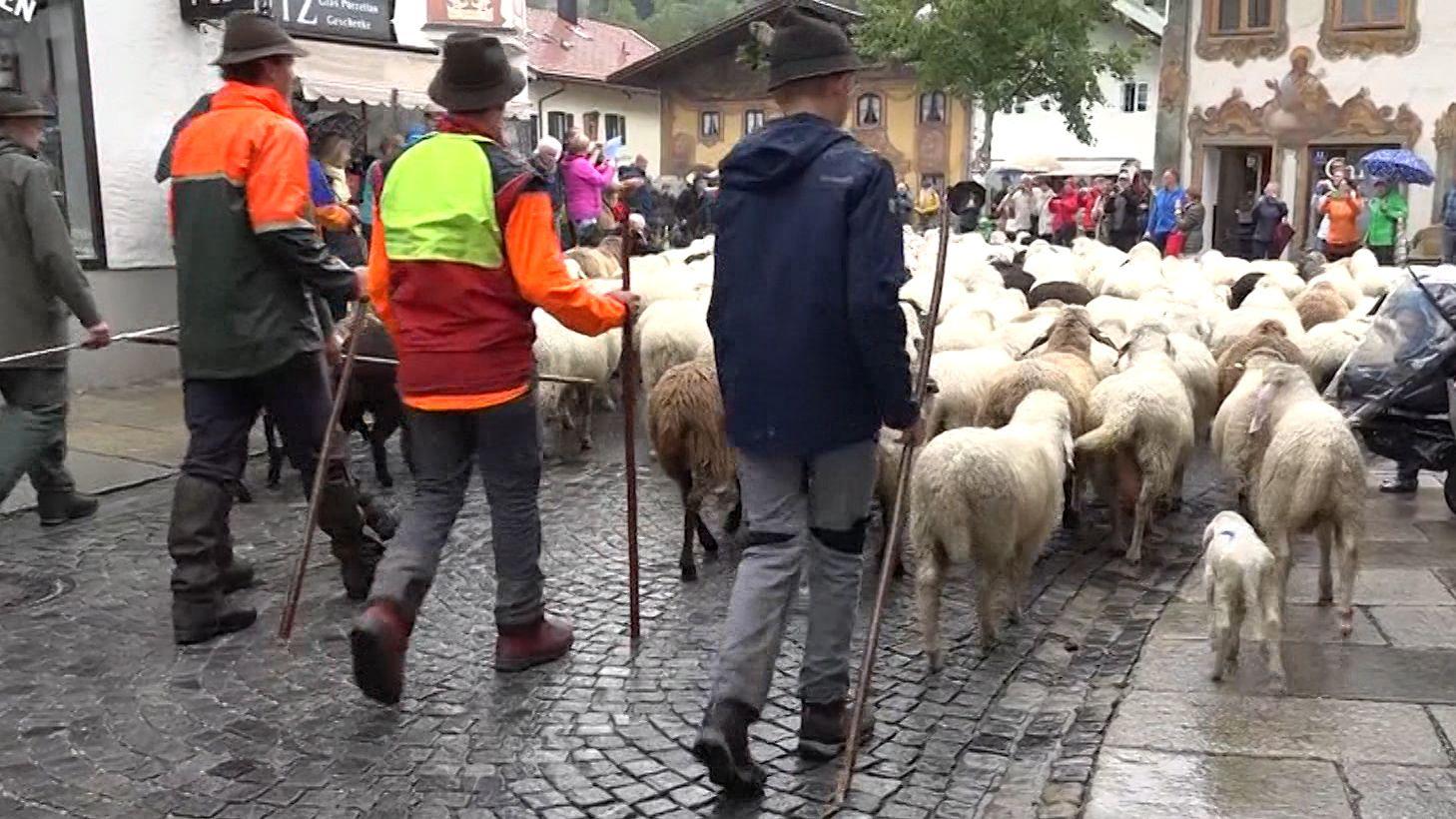 Schafe laufen beim Schafscheid durch Mittenwald.