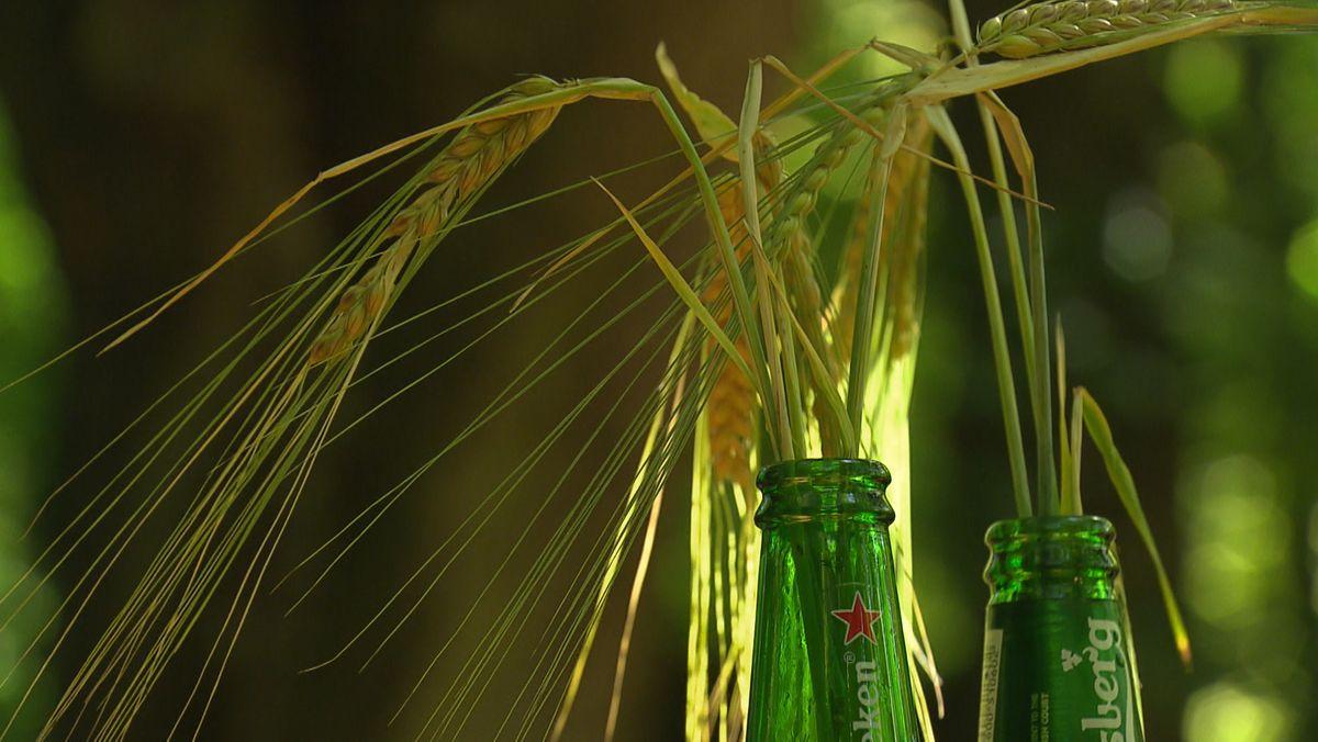 Umweltschützer sind mit einer Beschwerde gegen ein Patent von Carlsberg und Heineken auf Braugerste gescheitert.