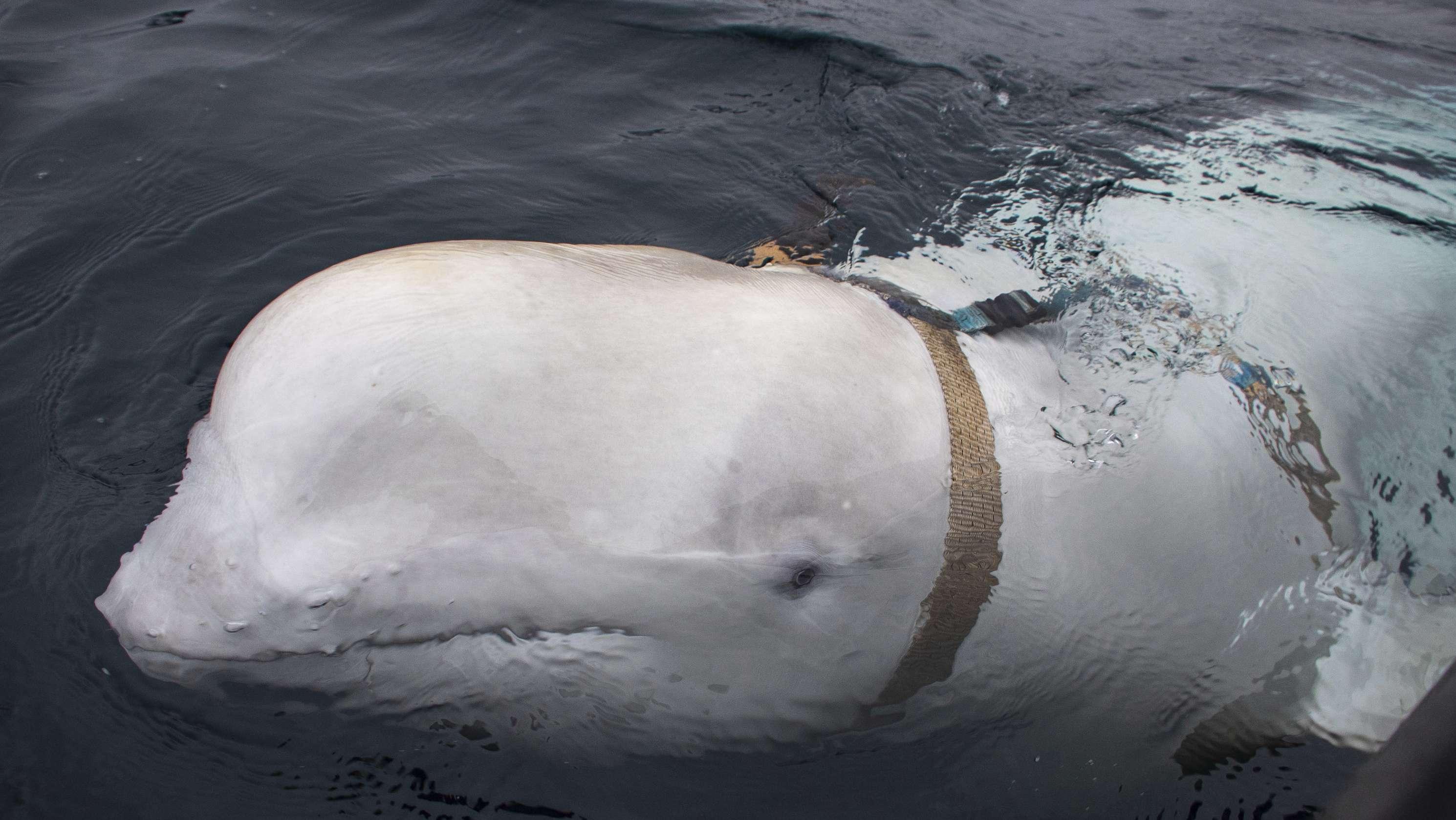 Belugawal mit Kameragurt