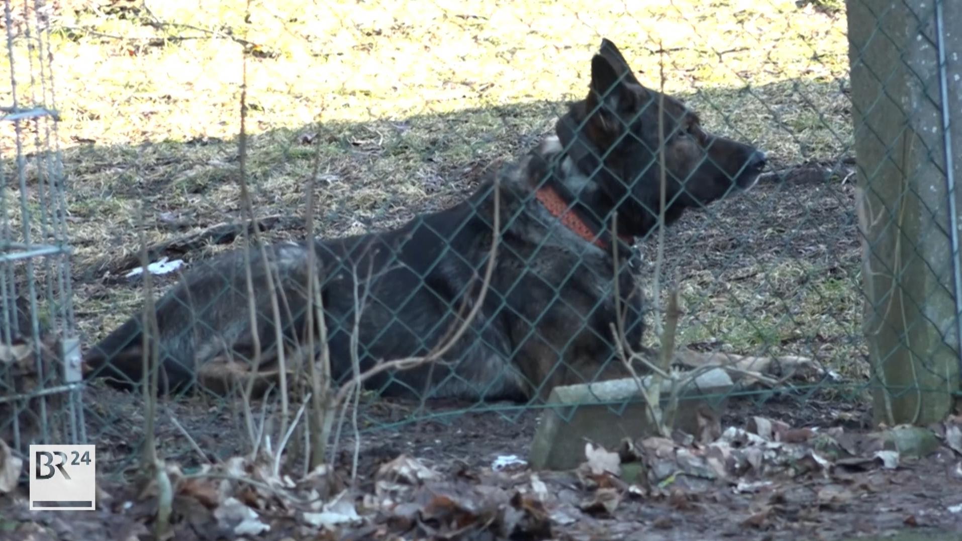 Ein Schäferhund liegt in einem Garten hinter einem Zaun.