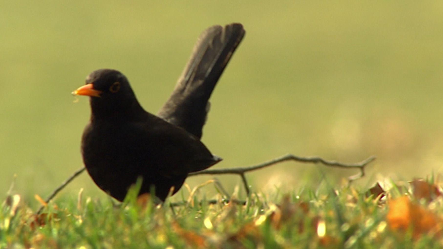 Wissen, was in dem eigenen Garten piept: Mit dem neuen Vogelstimmenservice des Bund Naturschutz funktioniert das.