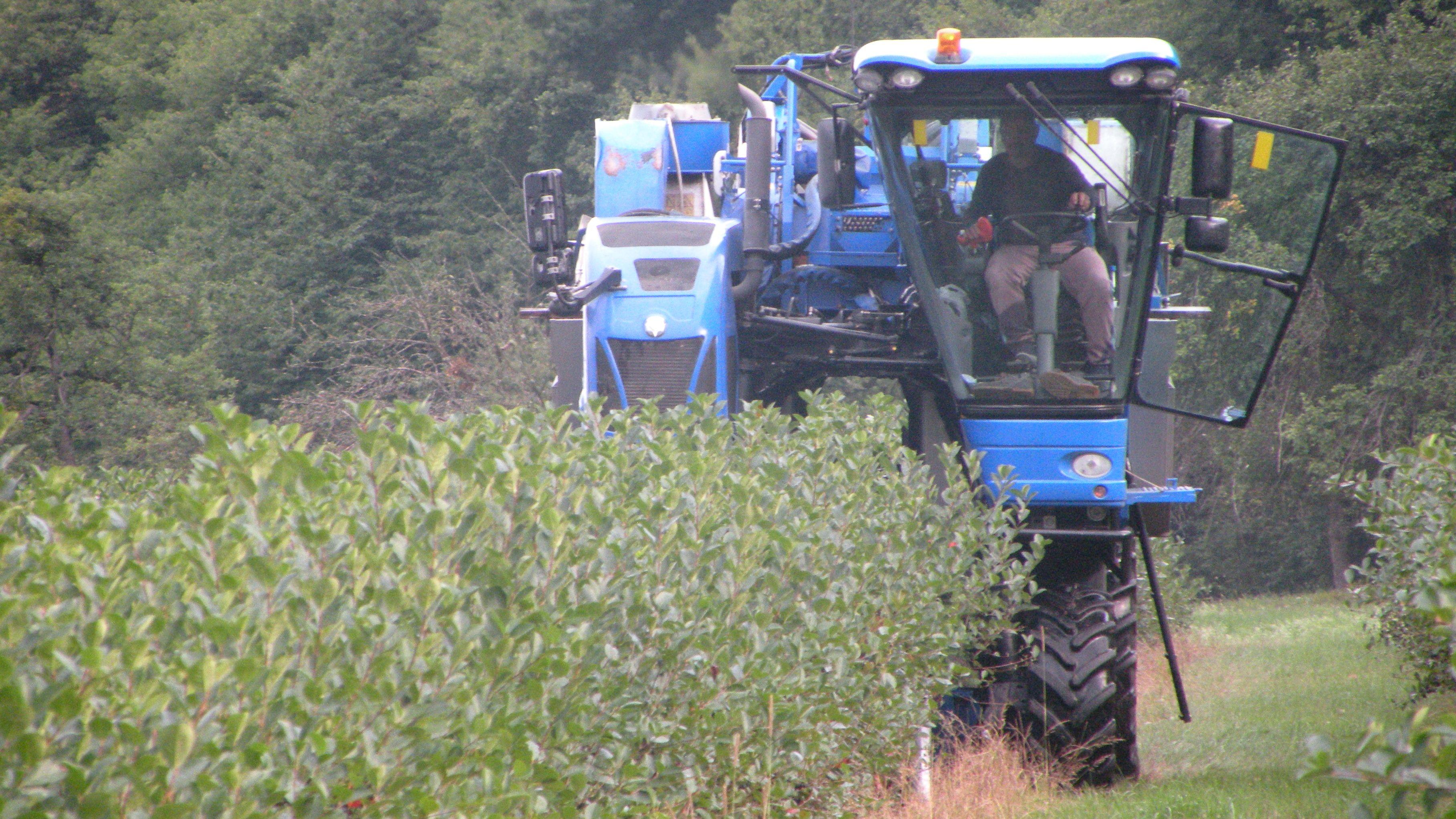 Mit einem Vollernter erntet ein Landwirt bei Miltenberg Aroniabeeren.