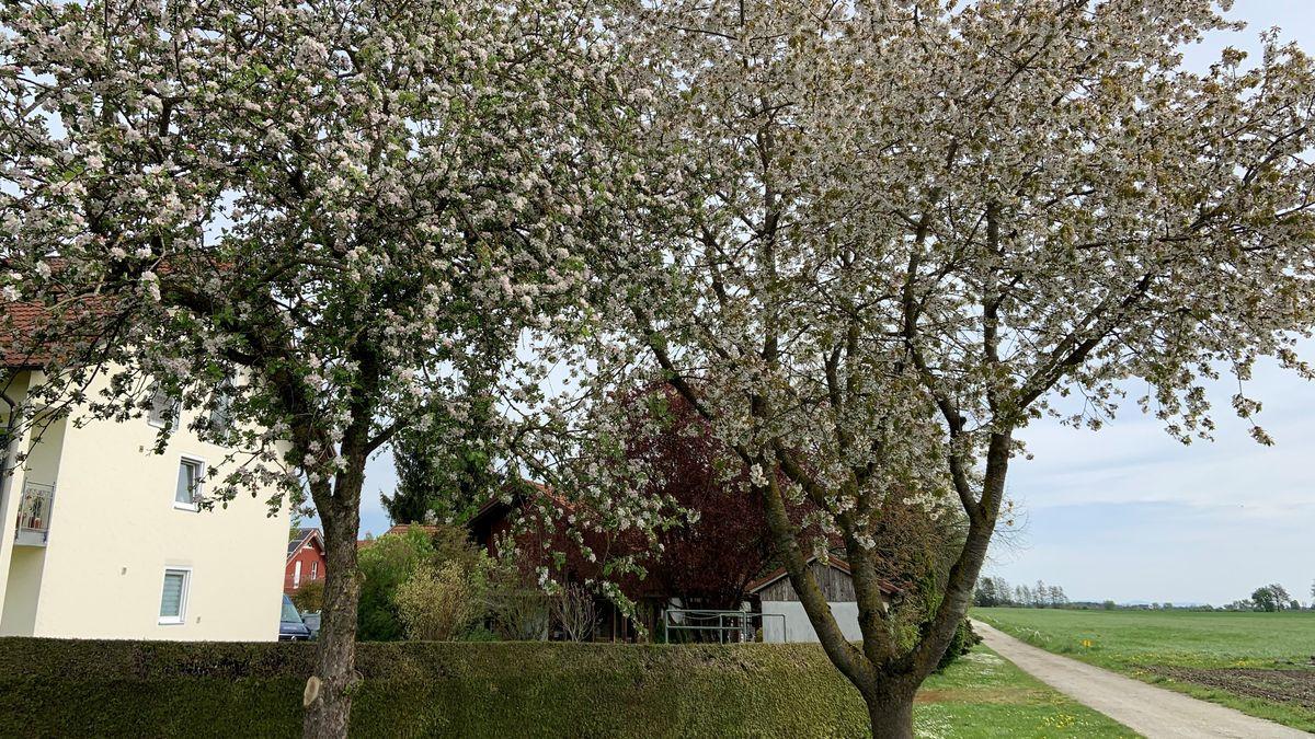 Streuobstbäume an der Straße nahe Ingrid Hopfingers Laden