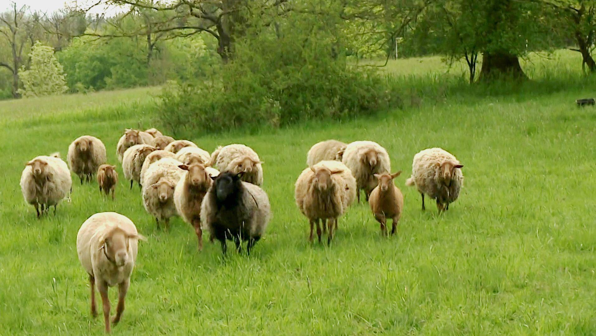 Eine Herde von Fuchsschafen läuft auf einer Wiese bei Coburg.