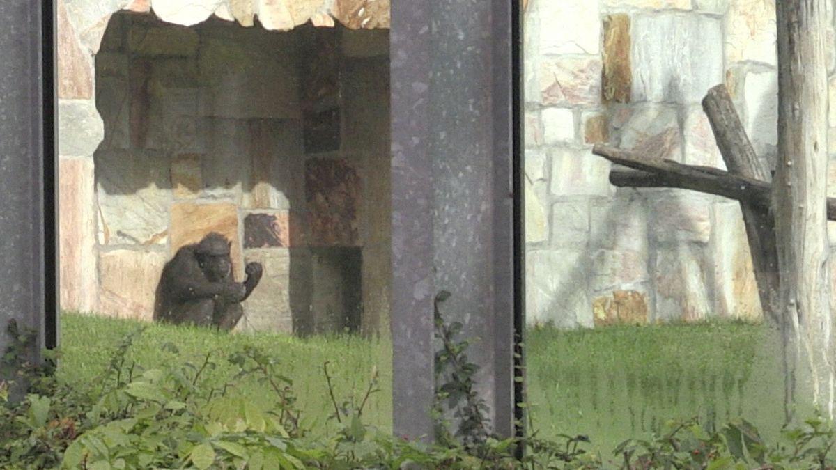 Ein Schimpanse hinter Glasscheiben im Augsburger Zoo