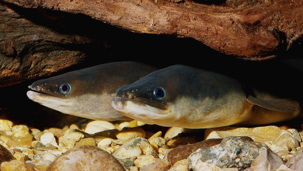 Europäischer Flußaal Glasaal unter Wasser