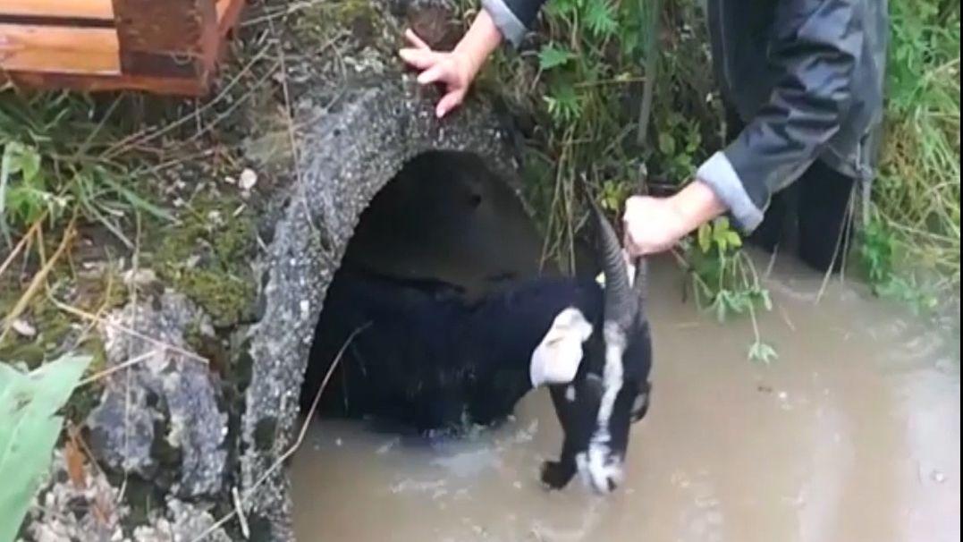 Eine Ziege verlässt ein Abwasserrohr