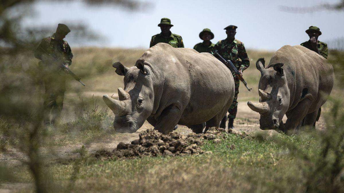 Archivbild: Kenia, Die Nördlichen Breitmaulnashorn-Weibchen Fatu (r) und Najin sind die letzten beiden Nashörner ihrer Unterart.