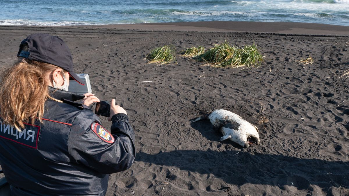 Eine tote Robbe am Chalaktyrsky-Strand wird von einer Polizistin fotografiert.
