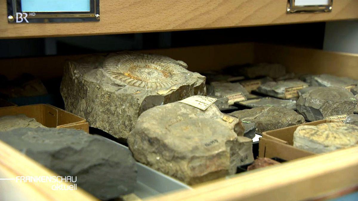 In einer hölzernen Schublade lagern mehrere Gesteine, darunter versteinerte Ammoniten.