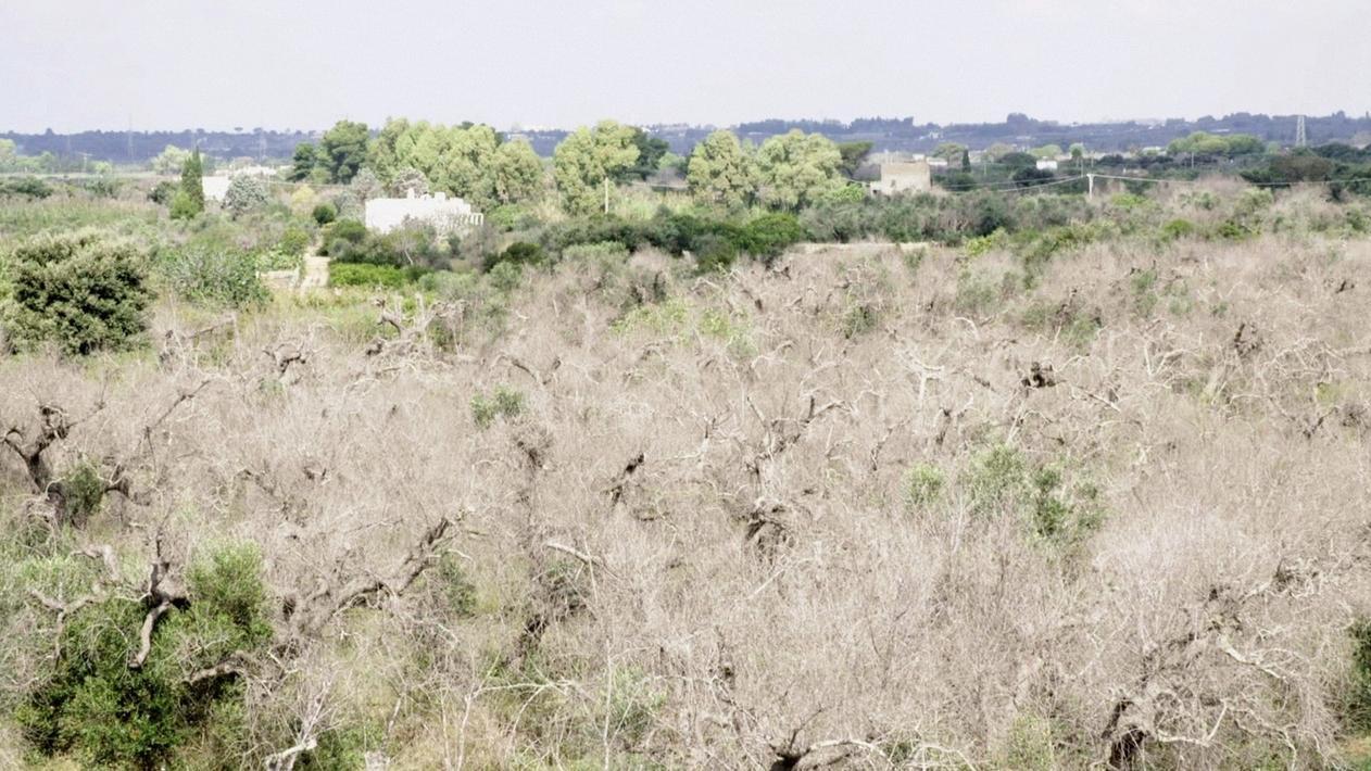 Abgestorbene, blattlose Olivenbäume in einem italienischen Olivenhain.