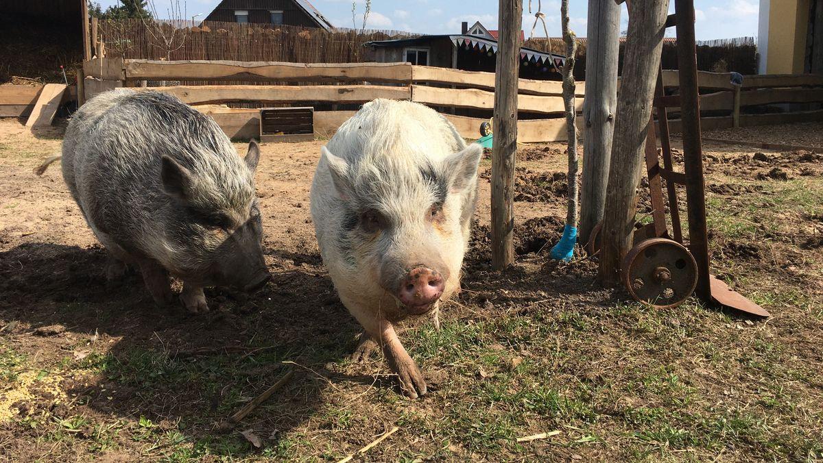 Die Hängebauchschweine Milli und Vanilli.