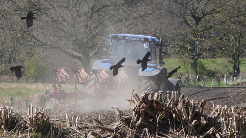 Krähen hinter Traktor