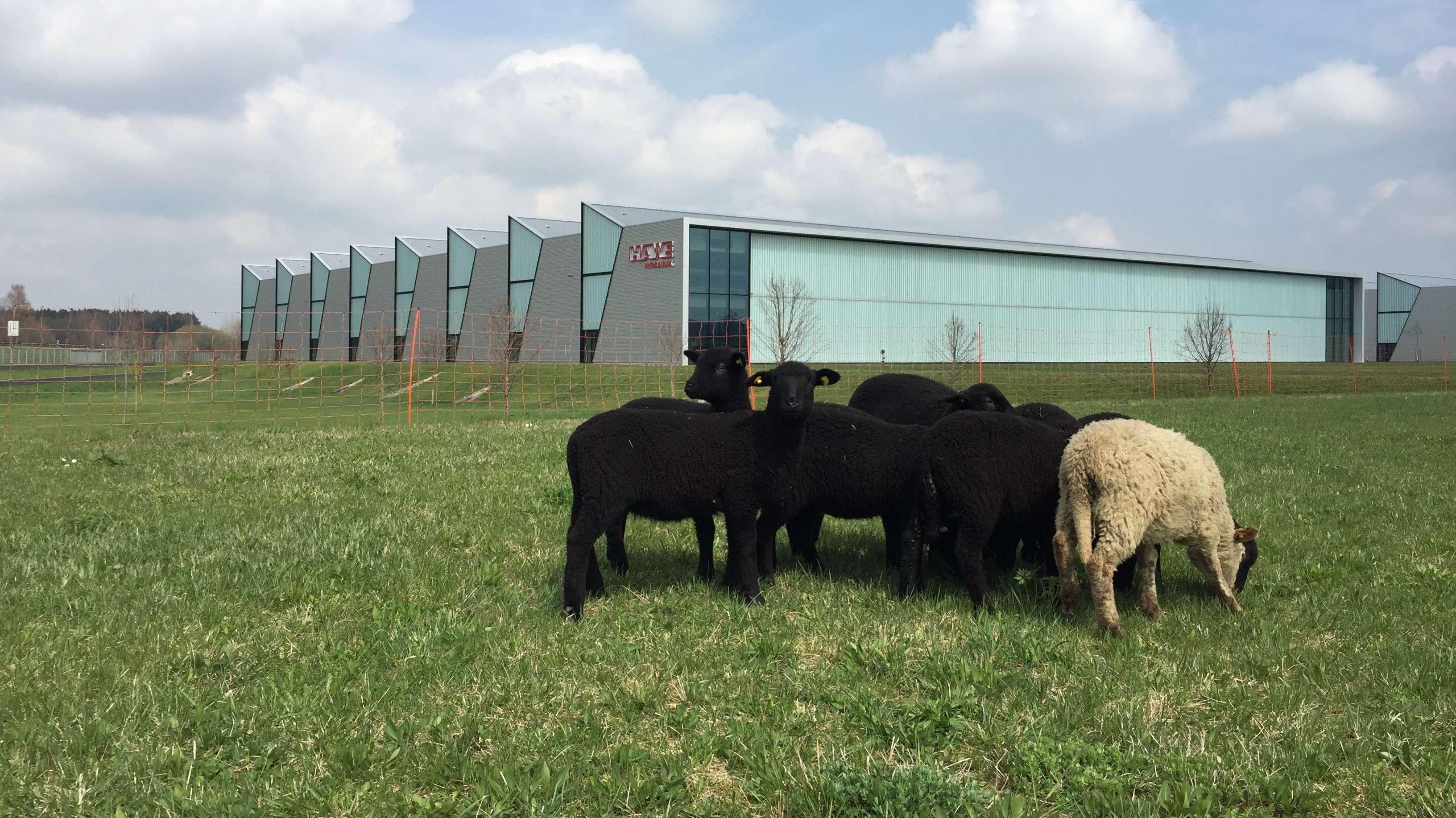 Schafe auf dem großen Werksgelände von HAWE in Kaufbeuren