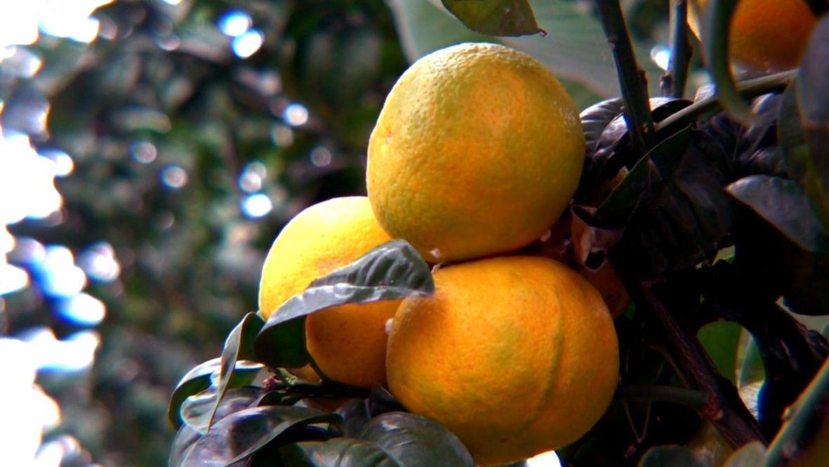 Zitronen aus Kleintettau