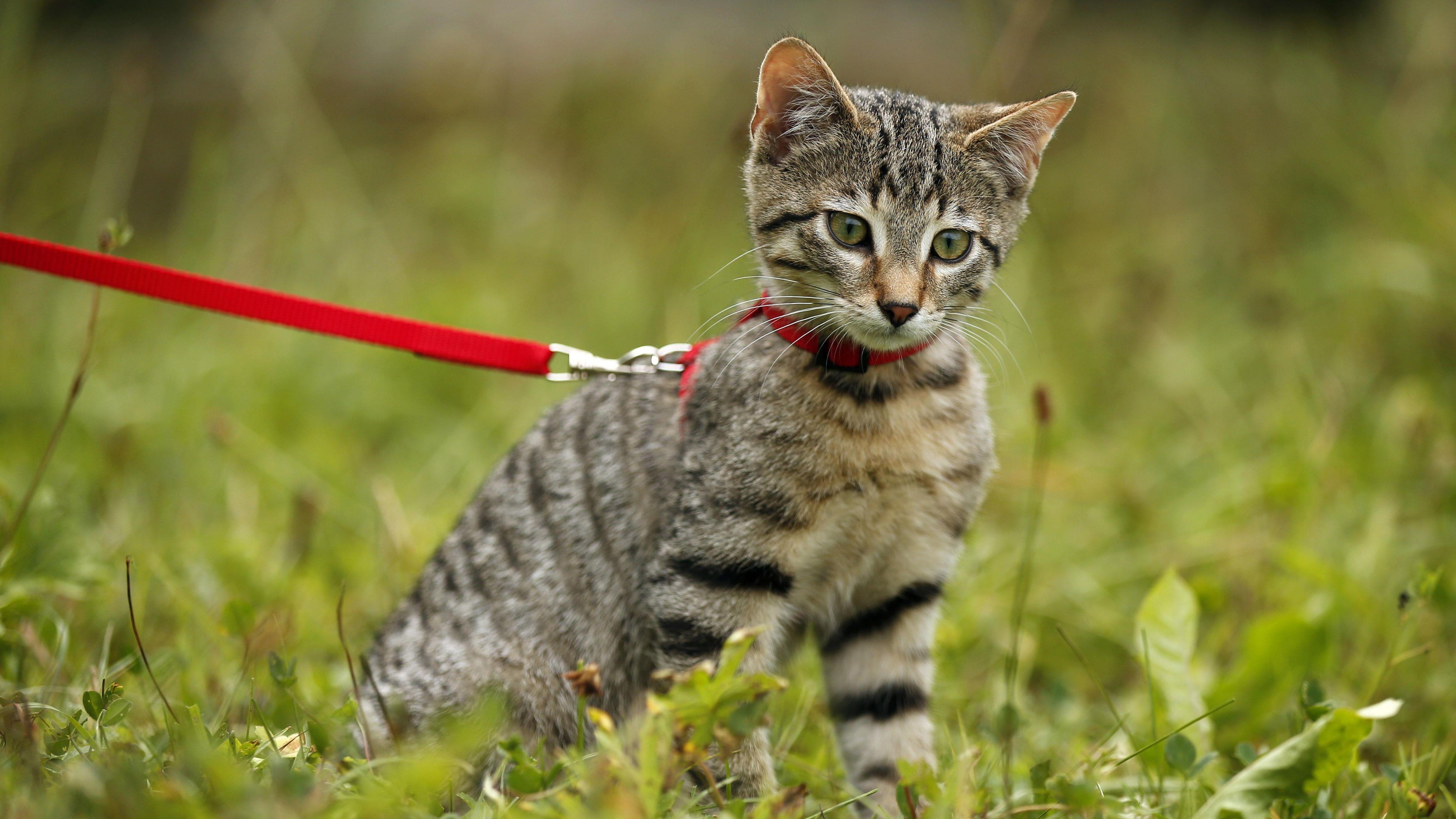 Braun getigerte Katze an der Leine (Symbolbild).