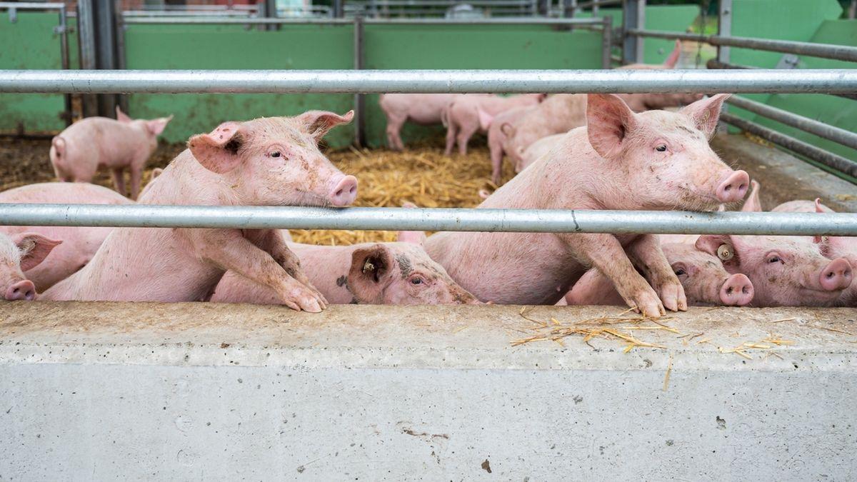 Schweinepest: China verbietet Import von deutschem Fleisch (Symbolbild)
