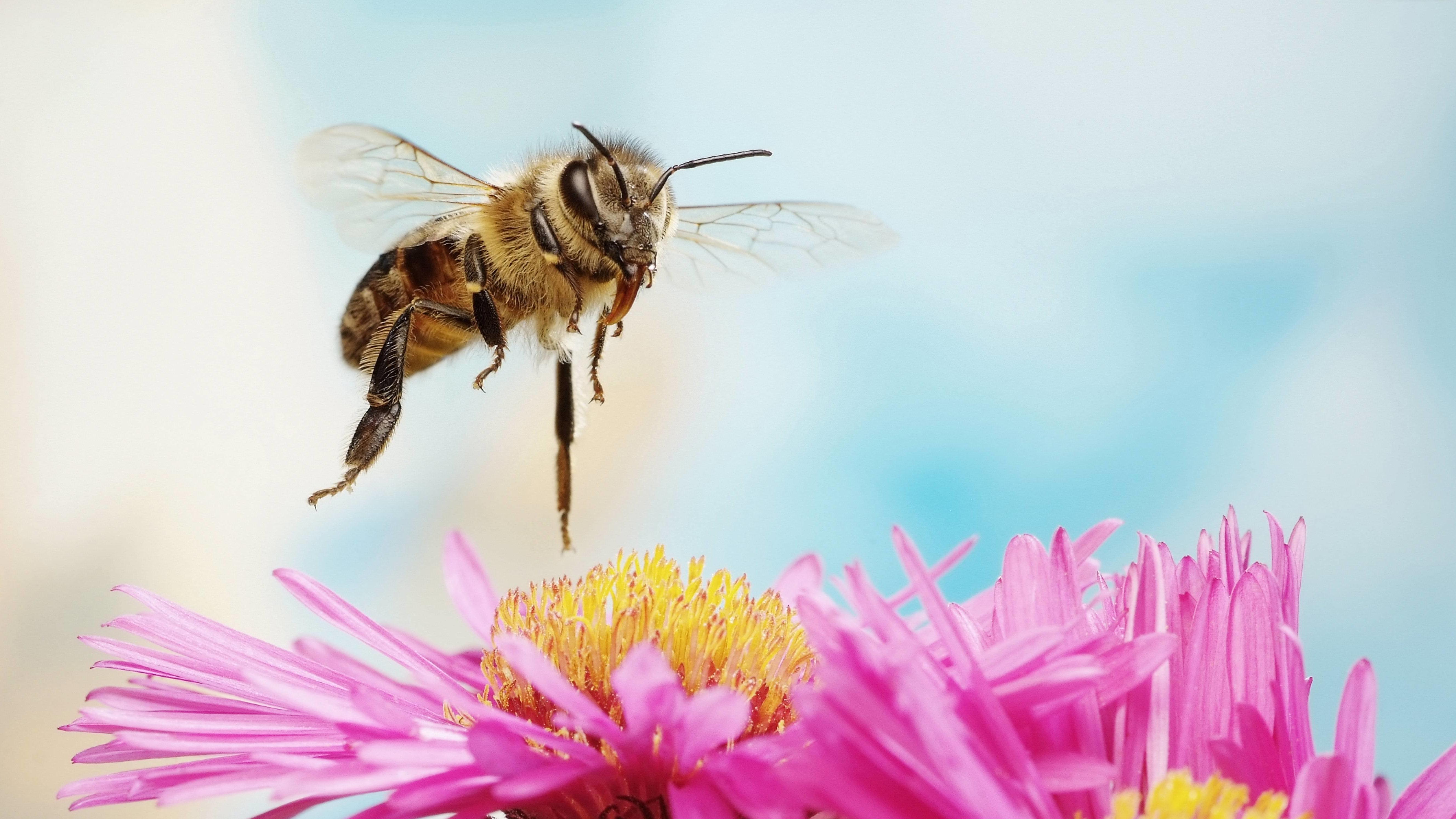 Honigbiene im Anflug auf Blüte
