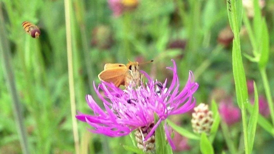 Insekt vor blühender Wiesenblume