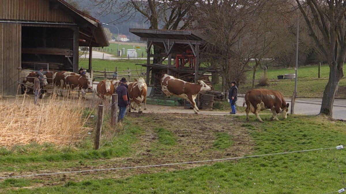 Kühe springen aus dem Stall
