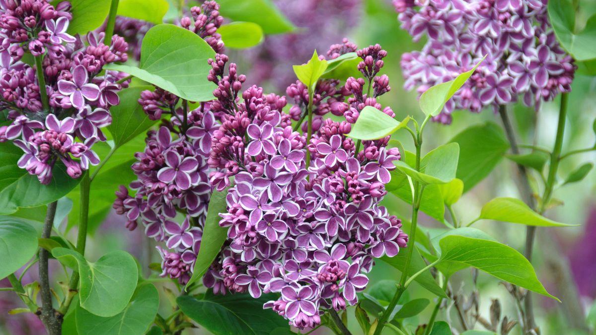 Edel-Flieder Syringa vulgaris Sensation