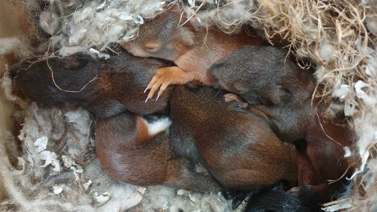 Die fünf geretteten Eichhörnchen-Babys