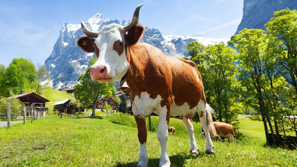 Eine Kuh auf der Wiese