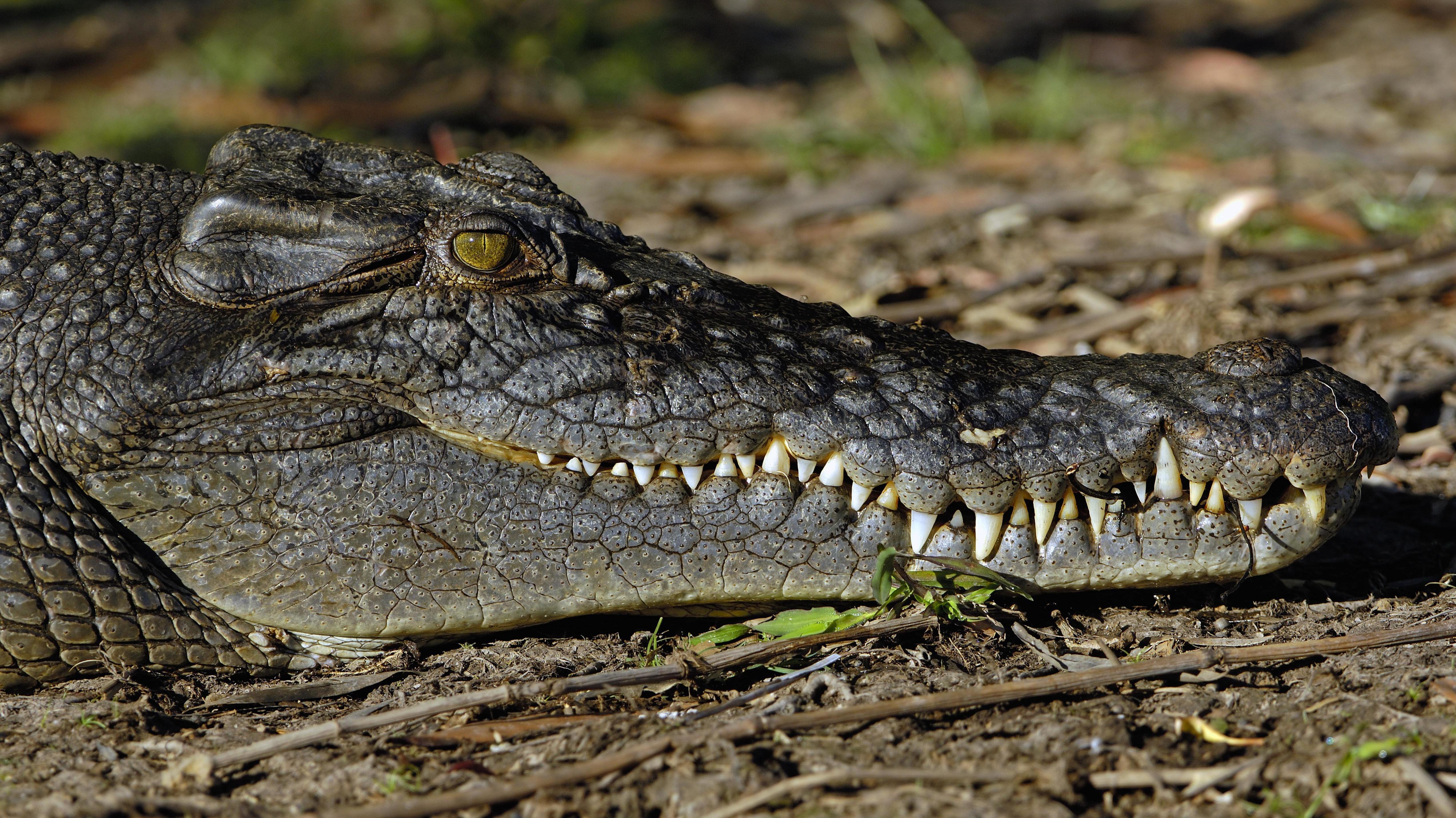 Ein Salzwasserkrokodil, Crocodylus porosus, im Northern Territory, Australien