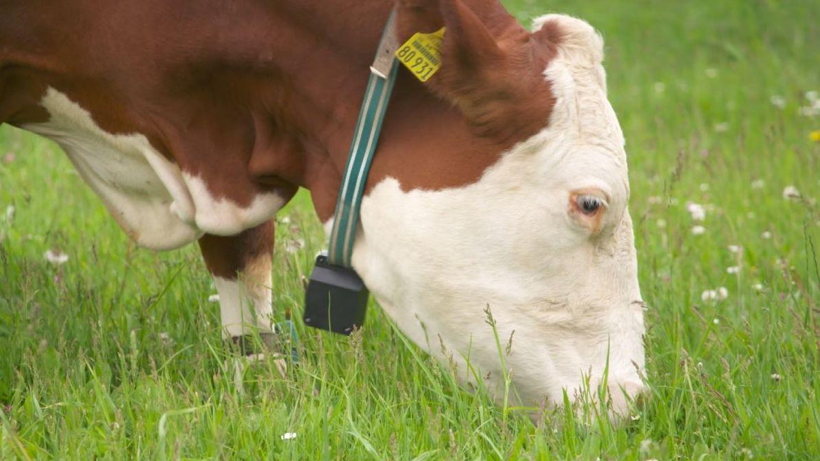 Eine Kuh mit GPS-Sender um den Hals
