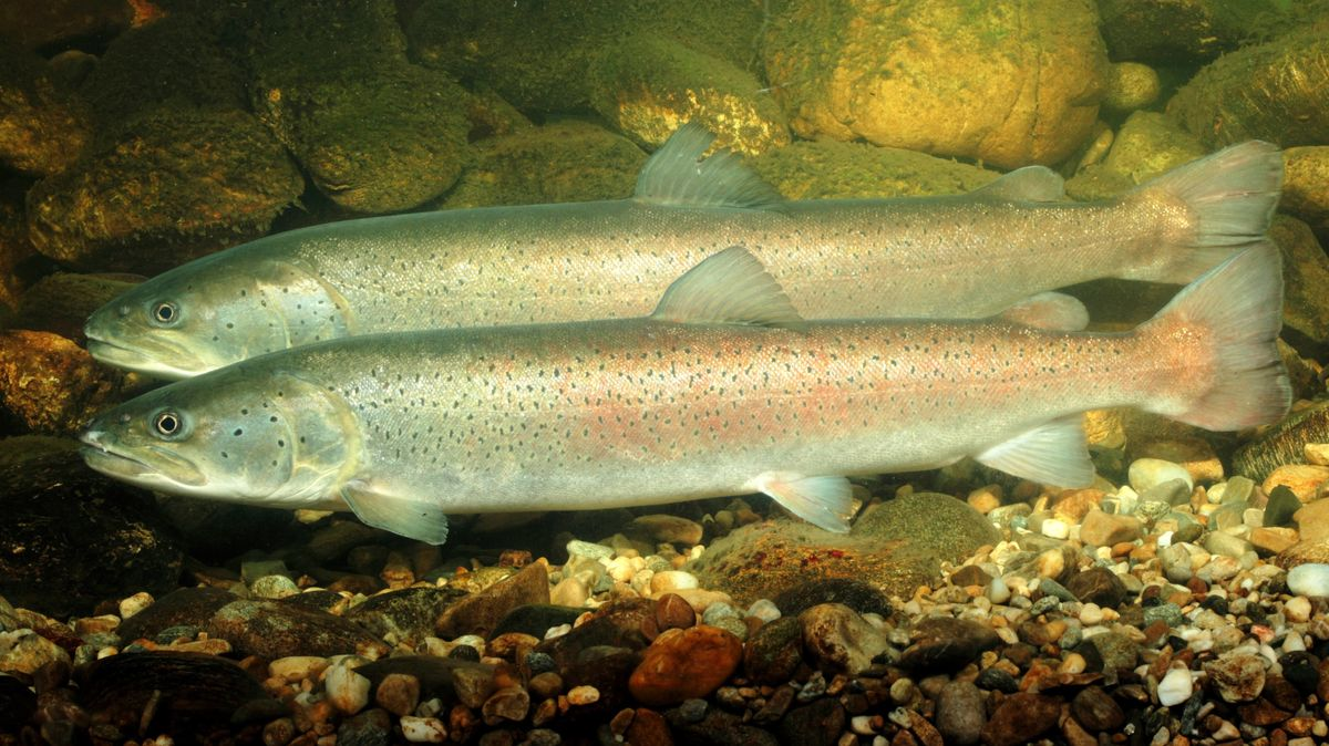 Huchen, Donaulachs, Hauch (Hucho hucho), Paar über Laichgrube, Männchen im Vordergrund.